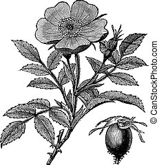 Sweet briar or Rosa rubiginosa or Eglantine Rose or R. eglanteria, vintage engraving. Old engraved illustration of Sweet briar isolated on a white background.