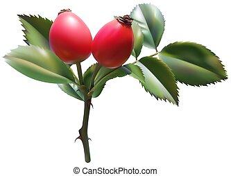 Sweet Briar Rose - colored illustration