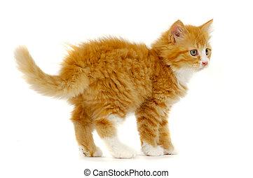 Sweet cat kitten standing on white background