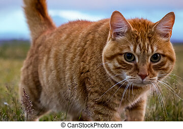 Sweet cat playing in the grass, Iceland - This cute Cat I...