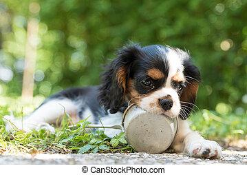 Sweet Cavalierking puppy