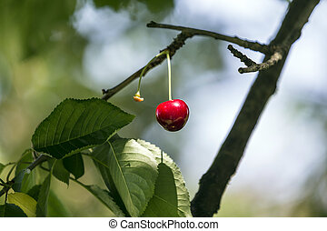 t cherry on a tree in the garden