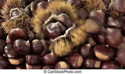 Sweet chestnut falling on rotating table, Castanea sativa...