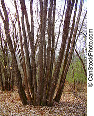 Sweet Chestnut Tree Coppice - A mature Sweet Chestnut Tree ...