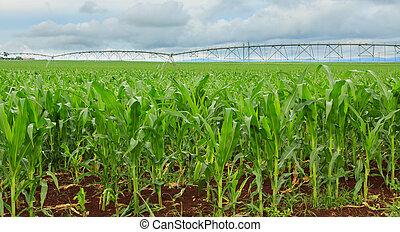 Sweet corn crop in Australia - A sweet corn crop in...