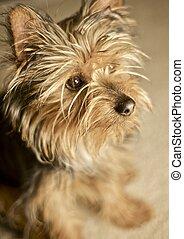 Sweet Doggie - Little Silky Terrier Puppie