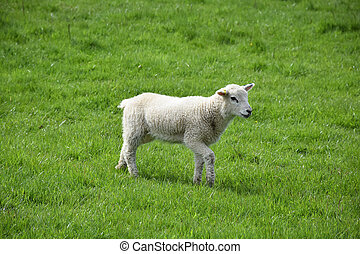Sweet Faced Baby Lamb in a Field in the Spring