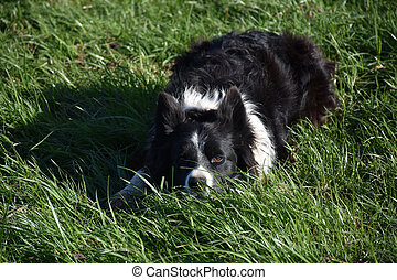 Sweet Faced Border Collie Laying Down in Grass