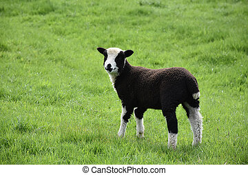 Sweet Faced Fuzzy Black and White Lamb in England
