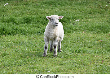 Sweet Faced White Lamb Baby in a Field in the Spring
