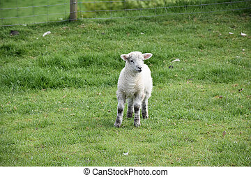 Sweet Faced Young Lamb Standing in a Field