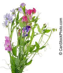 """sweet, fleurs, pea"", isolé"