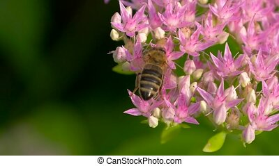Sweet flower in honeyed bee honey. - Macro of bee gathering...