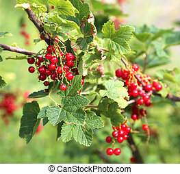 sweet fruits of currants in green plant in summer
