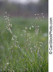 Sweet Grass in Flower - Hierochloe odorata a vanilla scented...