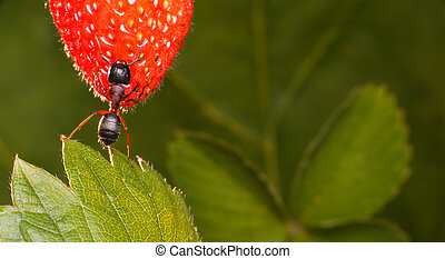 sweet harvest - garden ant holds strawberry