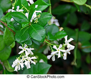 A photograph of the white star-shaped flowers of the sweet, fragrant honeysuckle vine