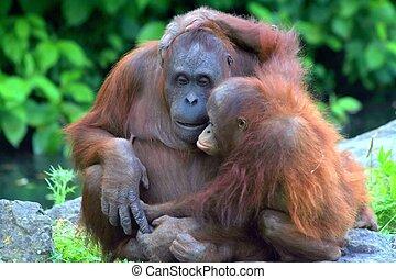 Sweet Hug - Baby orangutan hugging his mother.