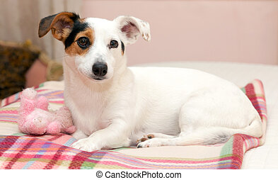 Sweet Jack Russell on the bed