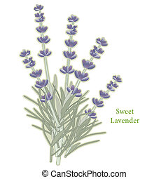 Sweet Lavender Herb. Classic ingredient of French cooking herb blend, Herbes de Provence. Flowers for perfume. See other herbs and spices in this series. EPS8 compatible.