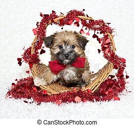 Sweet Little Morkie Puppy - Very cute Morkie puppy wearing a...