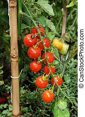 Sweet Million cherry tomato plant. - Ripe Sweet Million ...