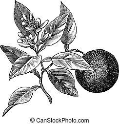 Sweet orange or Citrus aurantium, isolated on white, vintage...