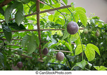 Sweet passion fruit on the plant