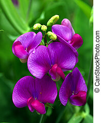 Close up shot of pink sweet pea flower