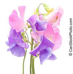 sweet pea flowers isolated on white