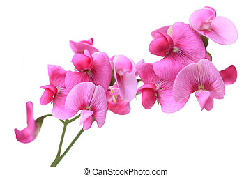 Sweet Pea Flowers - Sweet Pea dark pink flowers isolated on...