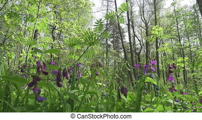 Sweet pea (Lathyrus odoratus) is a flowering plant in the...