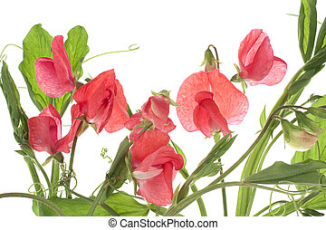 Studio Shot of Red Colored Sweet Pea Isolated on White Background. Macro.