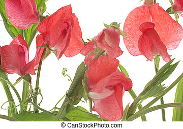 sweet pea - Studio Shot of Red Colored Sweet Pea on White ...