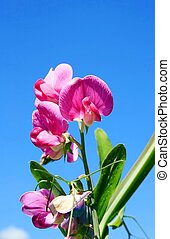 Sweet Pea - this image shows a sweet pea with blue sky