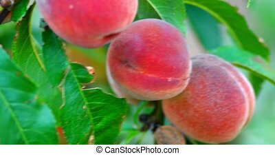 Sweet peach fruits growing on a peach tree branch handheld...