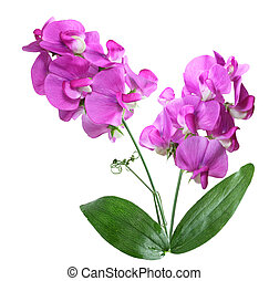 Sweet Peas Flowers - Wild Pink sweet Pea flower isolated on...