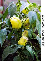 Sweet pepper bush growing in garden