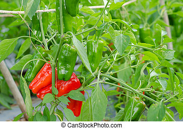 sweet pepper growing in the vegetable garden