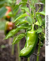 Sweet pepper in garden