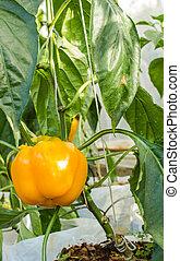 Sweet peppers in garden
