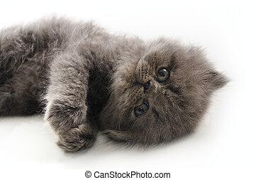 Sweet persian kitten - Portrait of young little persian cat...