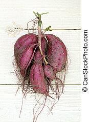 sweet potato harvesting - sweet potato plant with tubers on...
