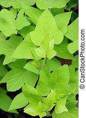 sweet potato leaves in garden