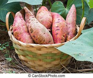 sweet potato - Sweet potatoes in a basket in the garden.
