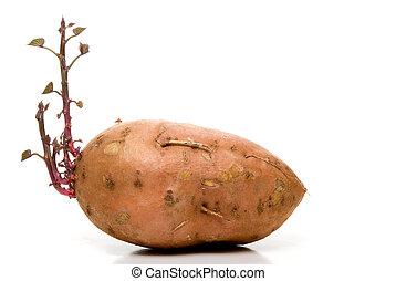 Sweet Potato - A sweet potato with brand new growth.