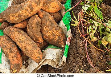sweet potato   - sweet potato ,harvest