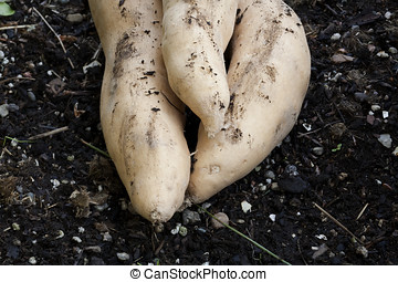Sweet potatoes in the soil. - Three sweet potatoes in the...