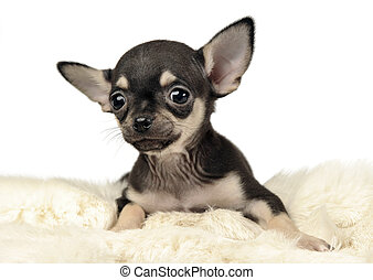 sweet puppy chihuahua portrait in white background studio