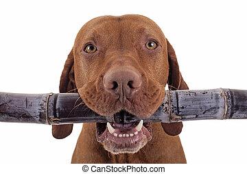 sweet raw diet - dog holding raw sugar cane inmouth on white...
